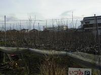 梨畑見学2
