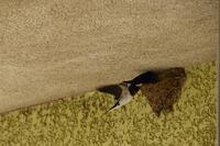 成鳥が2羽、えさを運んできました。