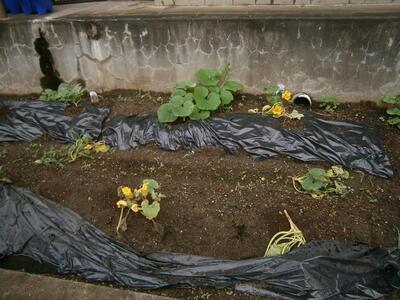 6年生がカボチャを植えました